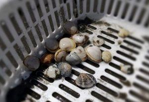 潮干狩りで採れた貝